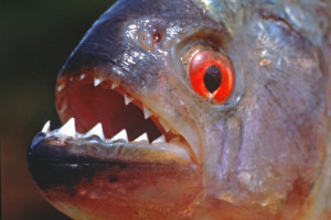black-piranha-fish